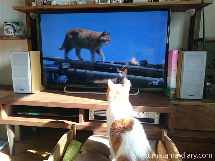 世界ネコ歩きを見るたまき