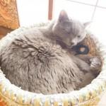 「ネコリパブリック東京御茶ノ水店」の和室のグレーの猫さん
