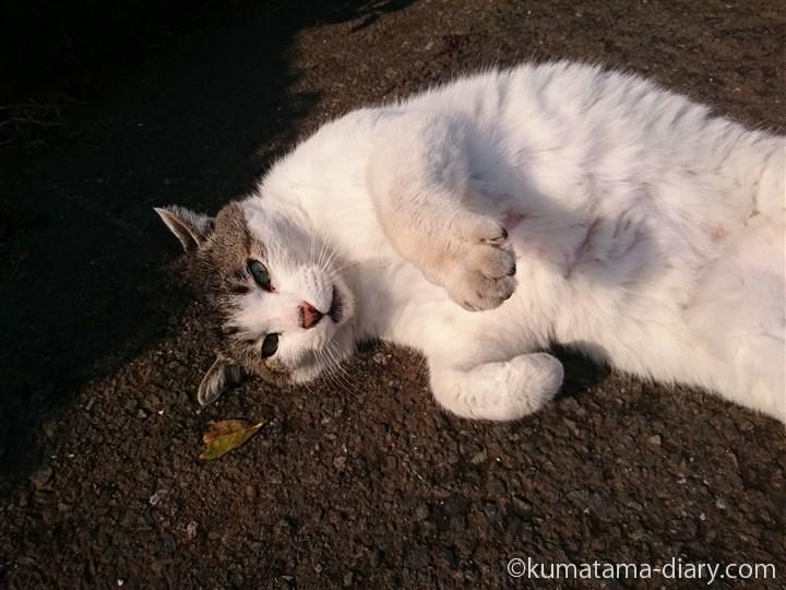 キジトラ白猫さんごろん