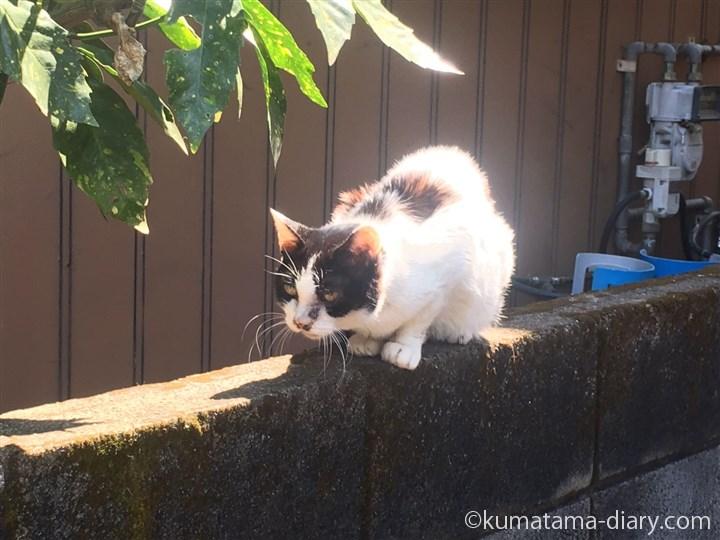 塀の上の黒白猫さん