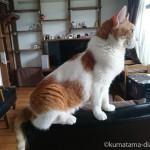 カリモク60のKチェアの背もたれに座る猫
