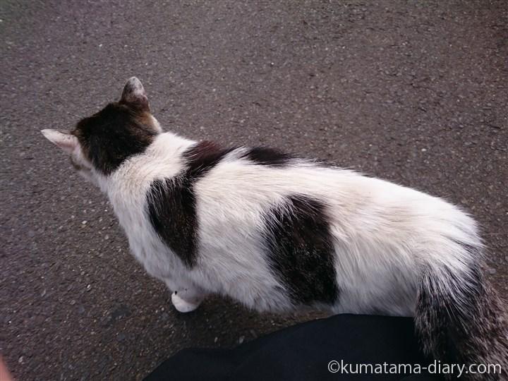 キジトラ白猫さんスリスリ