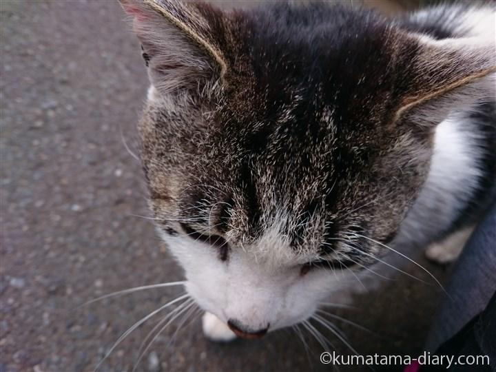 キジトラ白猫さん頭