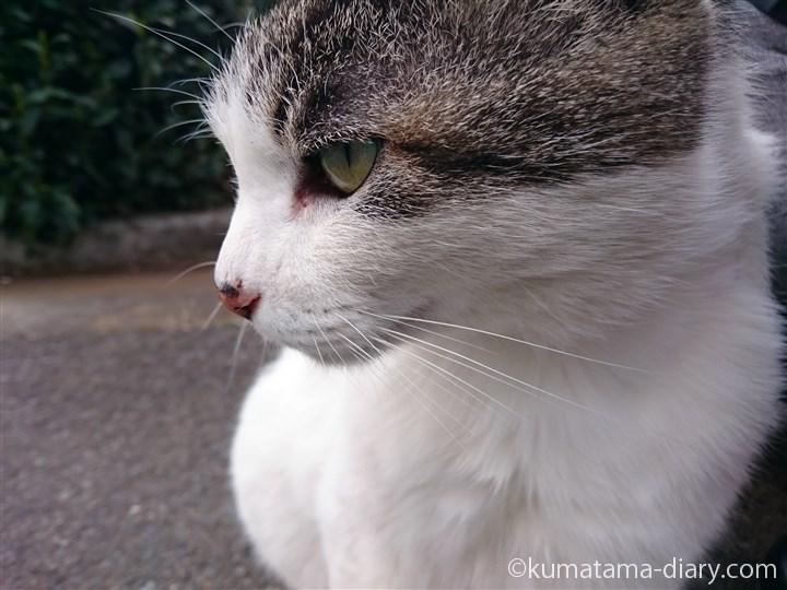 キジトラ白猫さん横顔