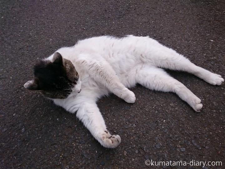 寝転がるキジトラ白猫さん