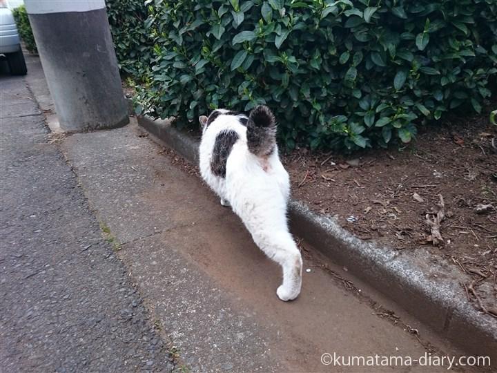 キジトラ白猫さんの足