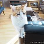 カリモク60のKチェアのひじ掛けに座る猫