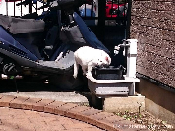 彼を見る白猫さん