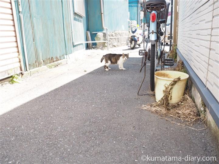 立ち上がるキジトラ白猫さん