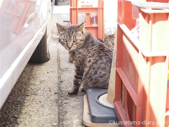 もう1匹のキジトラ猫さん