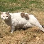 足をピンと伸ばして歩く入間市の猫さん