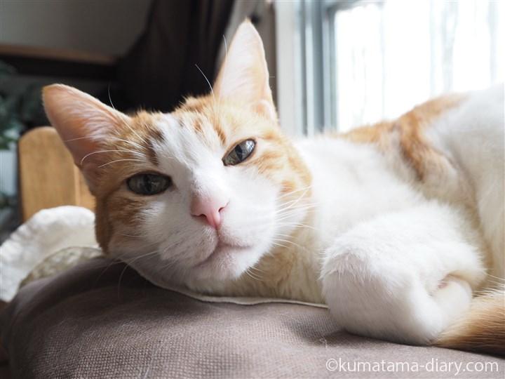 イケア猫ベッドで寝るたまき