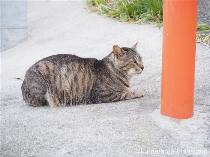 城ヶ島のキジトラ猫さん