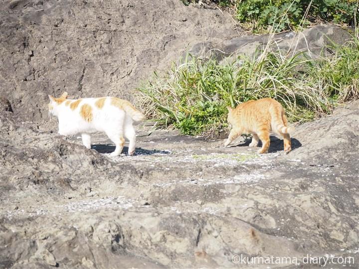 上に向かう茶トラ白猫さんと茶トラ猫さん