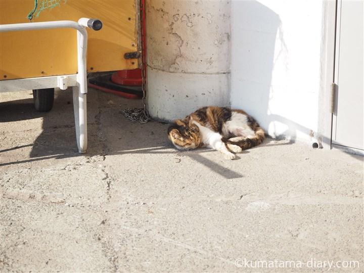 城ヶ島の三毛猫さん
