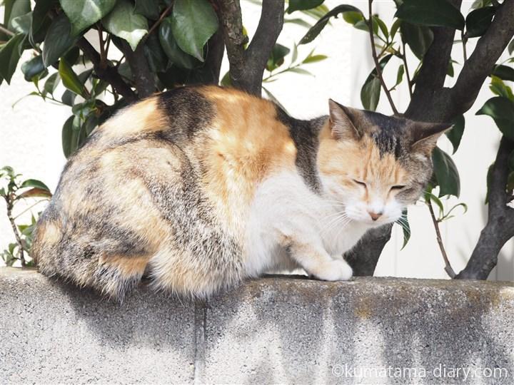眠そうな三毛猫さん