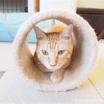 体が大きくて気が優しい♪保護猫カフェ「funnyCat」の茶トラ猫さんたち