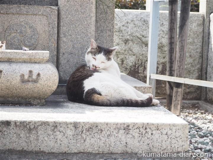 なめるキジトラ白猫さん