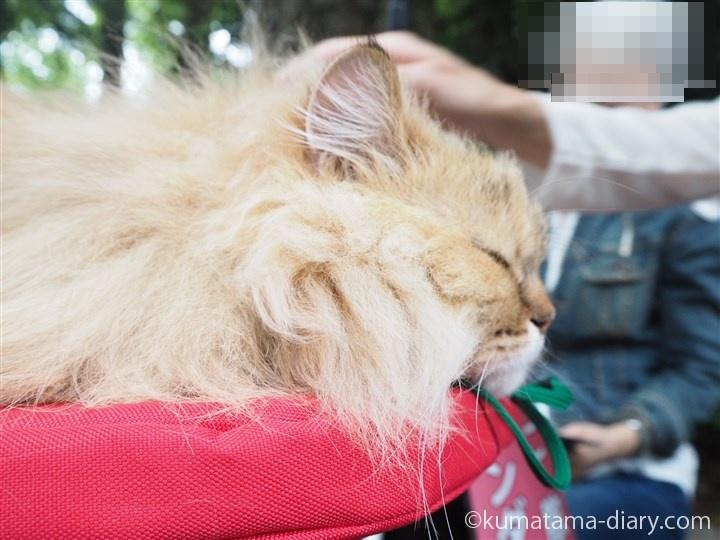 ペルシャ猫さん横顔