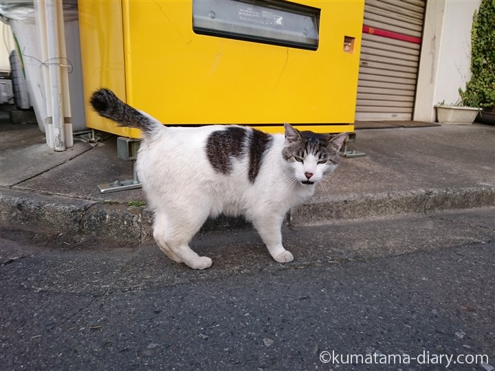 自動販売機の前のキジトラ白猫さん