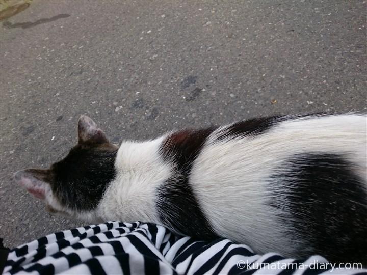 スリスリするキジトラ白猫さん