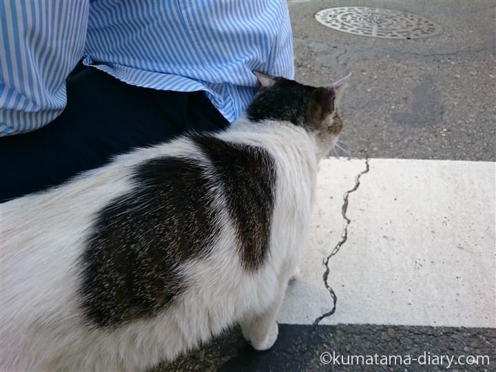 彼にスリスリするキジトラ白猫さん