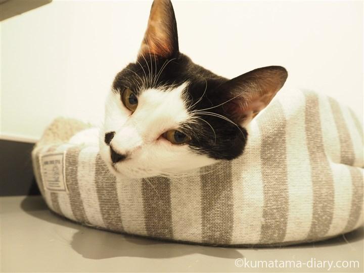 白黒猫ふじこちゃん