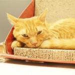 「ネコリパブリック池袋店」の頭が丸くてかわいい白猫さんと体が大きい茶トラ猫さん