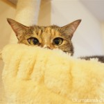 ハンモックで寝ていた保護猫カフェ「ネコリパブリック池袋店」の猫さん