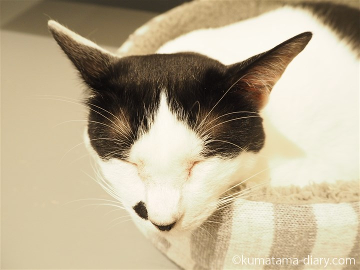 あごのせ白黒猫さん