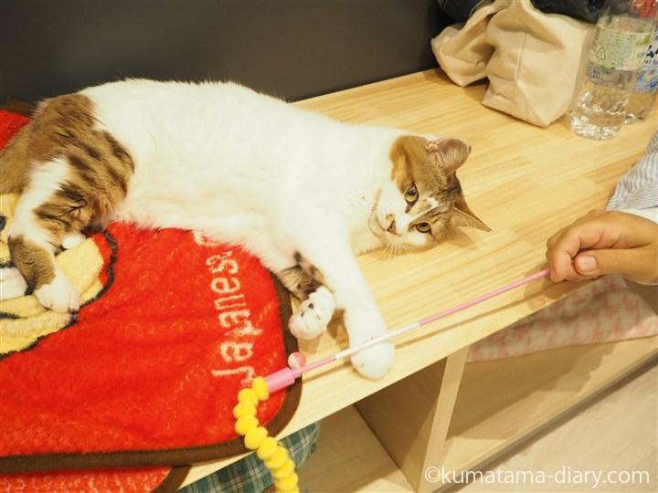 猫じゃらしとマロンちゃん