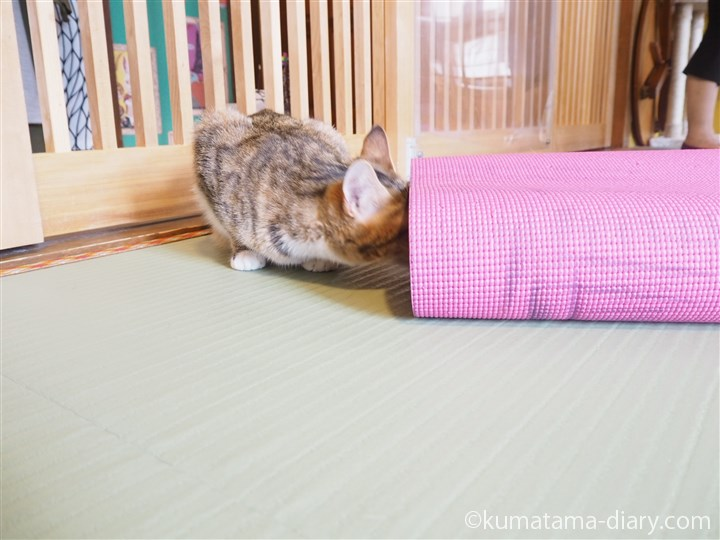 ヨガマットをにおう猫