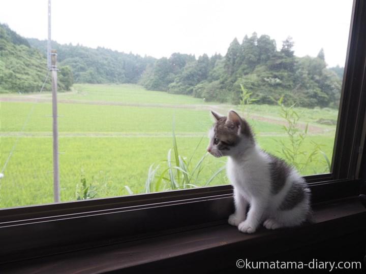 窓の外を見るキジトラ白猫さん