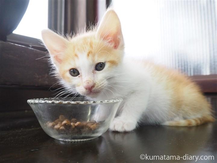 エサを食べる茶トラ白猫さん