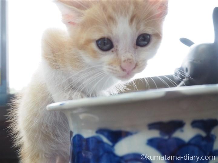 水を飲む茶トラ白猫さんの顔