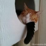 キャットタワーのボックスに押しかけて一緒に寝る猫