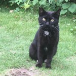 エンジェルマークがある入間市の黒猫さん