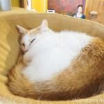 ハンモックで寝ていた保護猫カフェ「ネコリパブリック東京御茶ノ水店」の猫さん