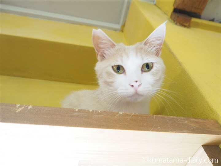 ネコリパブリックベージュ猫さん