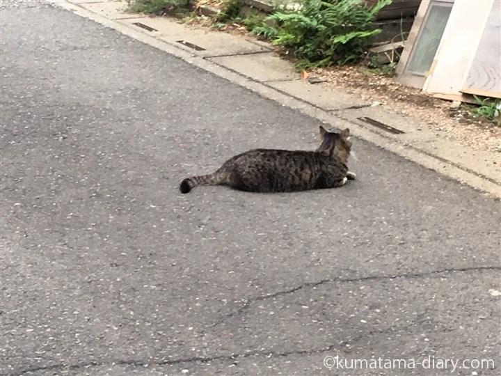 道の真ん中のキジトラ猫さん
