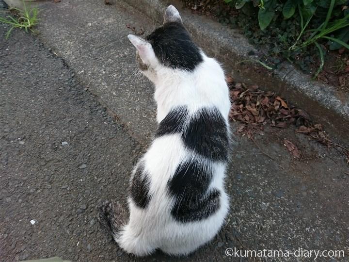 近所のキジトラ白猫さん後ろ姿