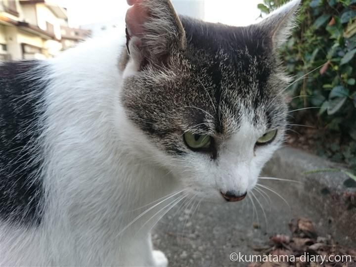 近所のキジトラ白猫さん