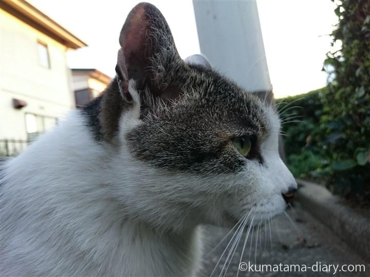 近所のキジトラ白猫さん横顔