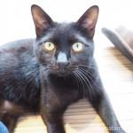 保護猫カフェ「funnyCat(ファニーキャット)」の人懐っこい黒猫さん