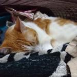 洗濯かごの中で眠る猫