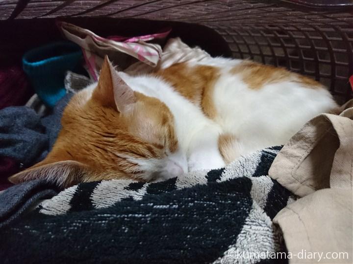 洗濯かごの中で眠るたまき