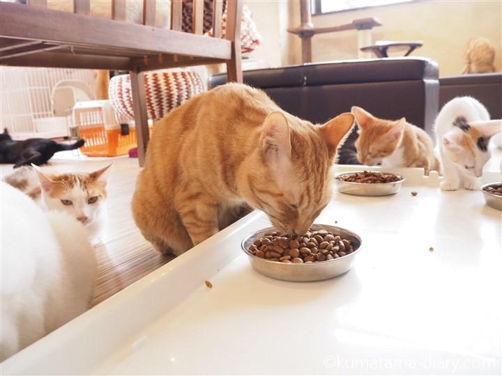 エサを食べる茶トラ猫さん