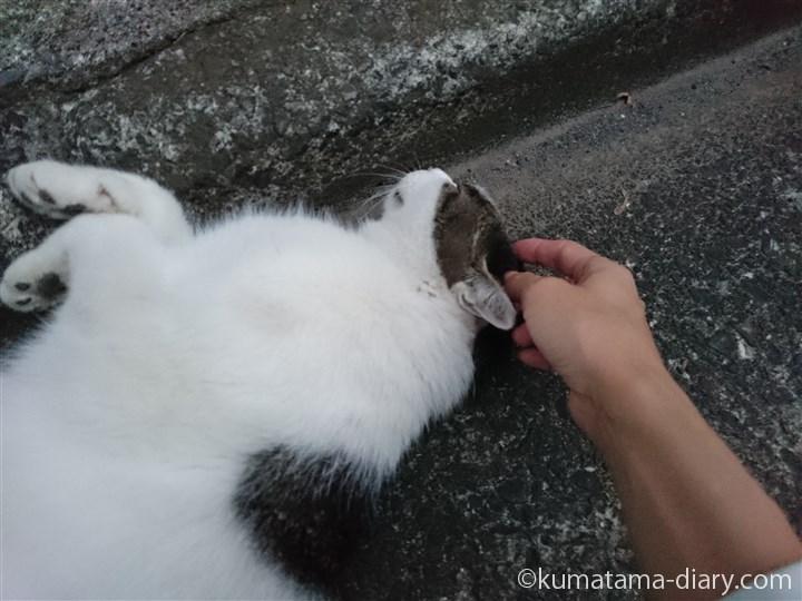 キジトラ白猫さんをマッサージ