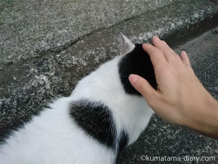 キジトラ白猫さんをなでなで