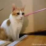 ダンボールを束ねたビニール紐で遊ぶ猫